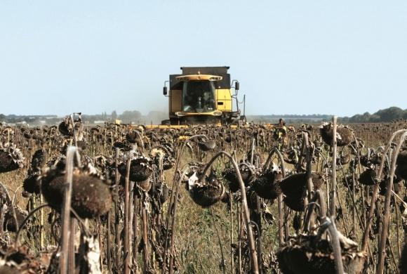 Затянули со сбором подсолнечника — готовьтесь к потерям урожая фото, иллюстрация
