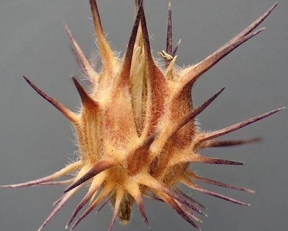 Ценхрус длинноколючковый (малоцветковый) — многоликий и опасный сорняк фото, иллюстрация