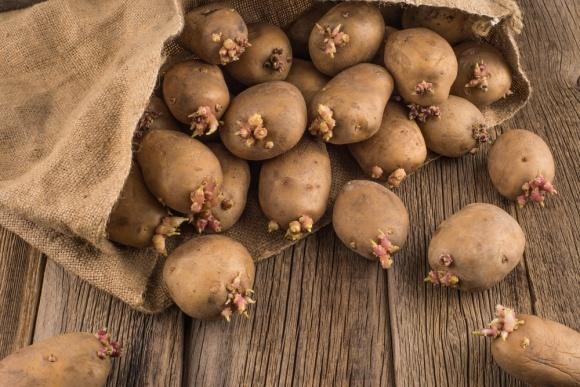 Підготовка картоплі до посадки — один із елементів підвищення врожайності фото, ілюстрація