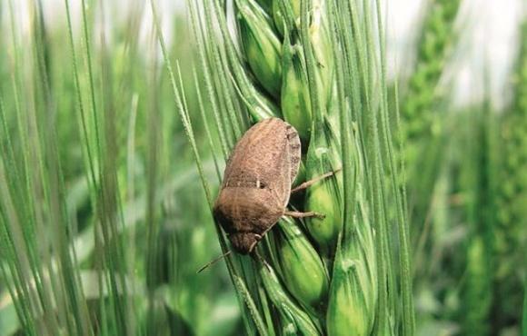 Борьба с вредителями зерна во время хранения  фото, иллюстрация