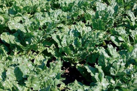 КОНВІЗО® СМАРТ — рушійна сила для вирощування цукрового буряка (початок) фото, ілюстрація
