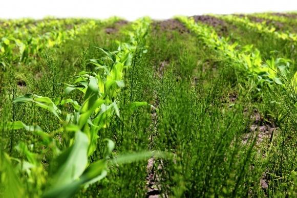 Борьба с сорняком хвощ полевой? Как избавиться фото, иллюстрация