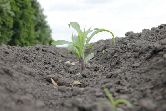 Стресові періоди та продуктивність кукурудзи фото, ілюстрація