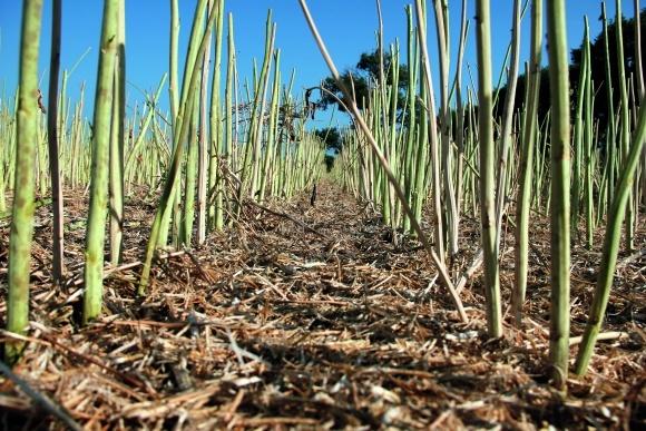 Растительные остатки: сэкономить на удобрениях и улучшить состояние поля фото, иллюстрация