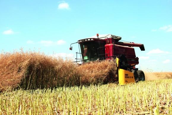Як скоротити втрати озимого ріпаку під час збору врожаю? фото, ілюстрація