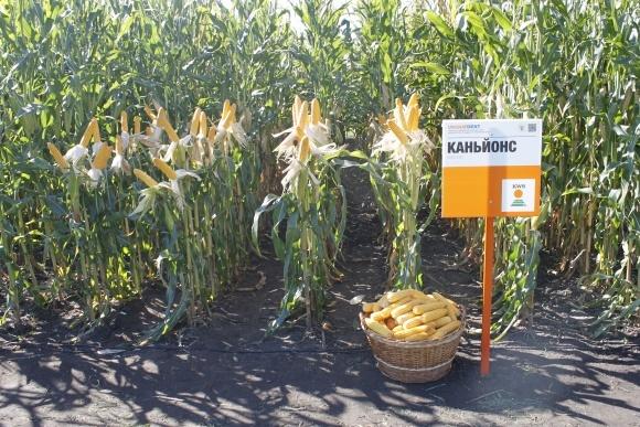 Група гібридів кукурудзи UNIQUEDENT: унікальність, доступна кожному фото, ілюстрація