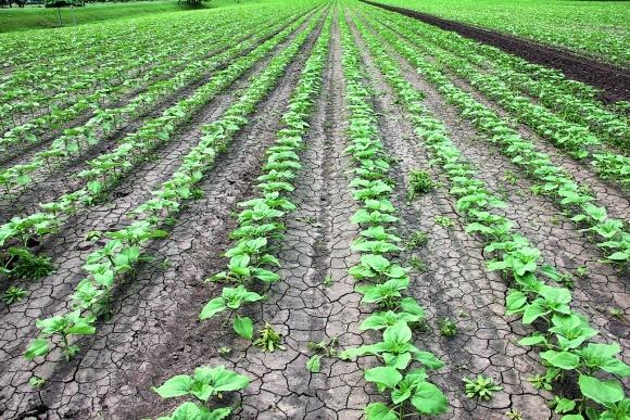 Вплив термінів висівання та густоти на врожайність соняшнику фото, ілюстрація