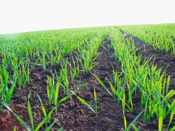 Квелекс™ — погляд під іншим кутом на захист посівів зернових колосових від бур'янів фото, ілюстрація