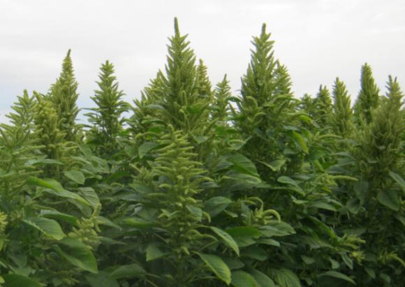Вирощування амаранту у США фото, ілюстрація
