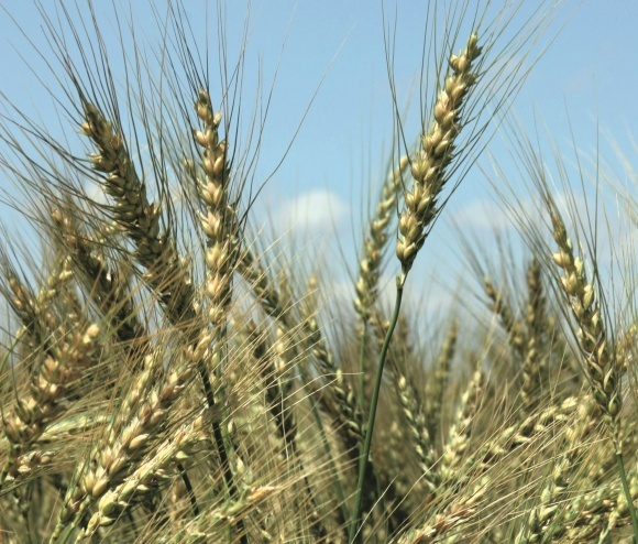 Біопрепарати для захисту зернових колосових від хвороб фото, ілюстрація