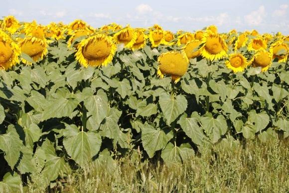 Гербіциди для соняшника фото, ілюстрація