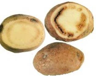 Хвороби картоплі: бура гниль фото, ілюстрація