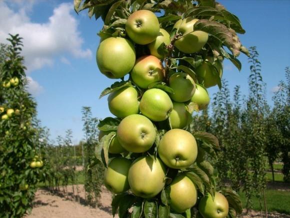 Хвороби яблуні і боротьба з ними  фото, ілюстрація