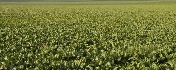 Стимулятор врожайності і цукристості буряка SWEETLIPS фото, ілюстрація