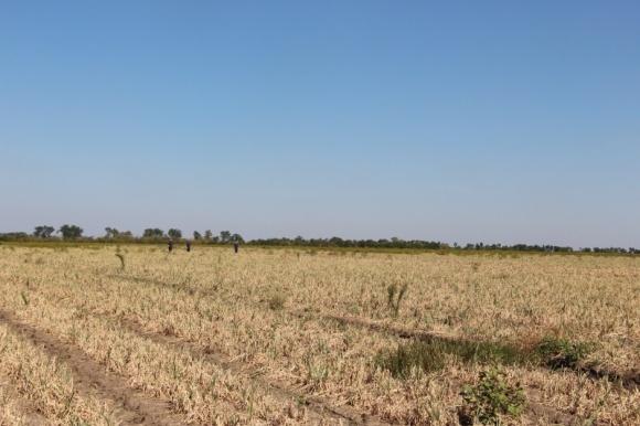 Важнейшие элементы технологии выращивания лука фото, иллюстрация