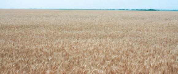 Десикация посевов пшеницы перед жатвой фото, иллюстрация