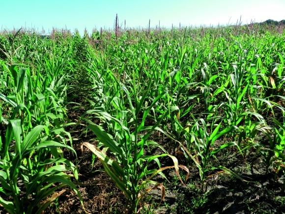 Захист кукурудзи від однодольних видів бур'янів фото, ілюстрація