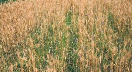 Эгилопс — непобедимый сорняк фото, иллюстрация