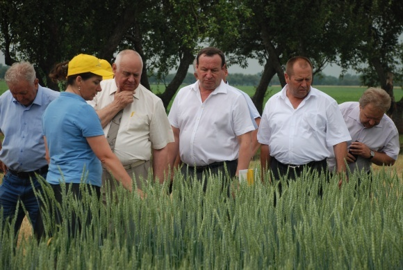 Пшениця м'яка яра  фото, ілюстрація