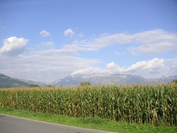 Стійкість різних гібридів кукурудзи до хвороб і шкідників фото, ілюстрація