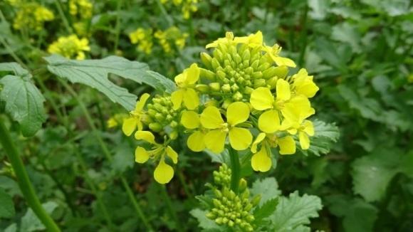 Горчица озимая - стоит ли выращивать в Украине фото, иллюстрация