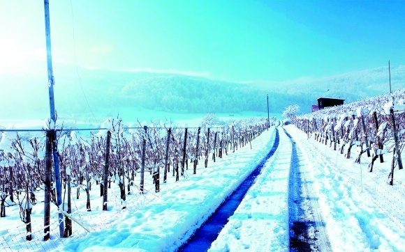 Обрізування виноградників фото, ілюстрація