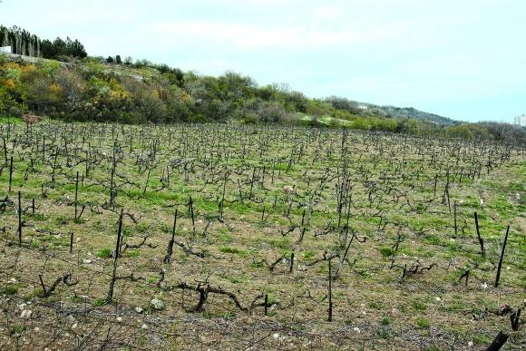 Защита винограда от болезней и вредителей в ранневесенний период фото, иллюстрация