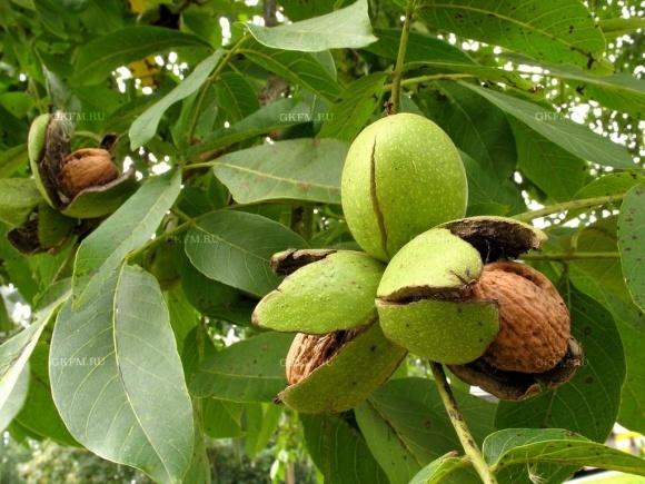 грецкий орех фото дерева