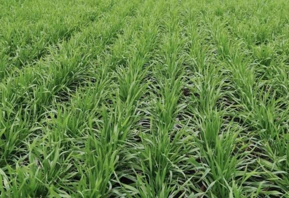 Топ-3 протравителя для озимых зерновых фото, иллюстрация