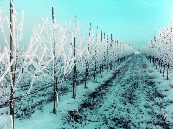 Обрізування плодоносних зерняткових дерев фото, ілюстрація