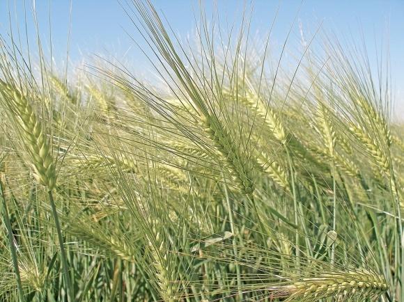 Голозерний ячмінь: особливості вирощування в Степу фото, ілюстрація