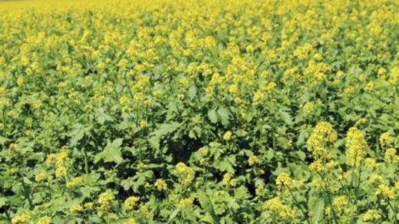 Вирощування гірчиці для біологічного очищення ґрунтів фото, ілюстрація