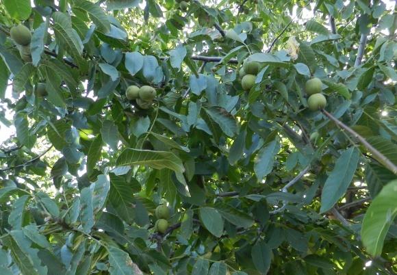 Вредители грецкого ореха: система защиты  фото, иллюстрация