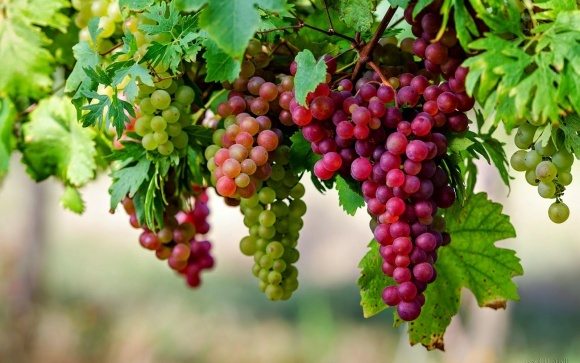 """Виноградарські тенденції Одещини, — ТД """"Кіссон"""" фото, ілюстрація"""