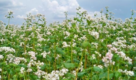 Вирощування органічної гречки в Україні фото, ілюстрація