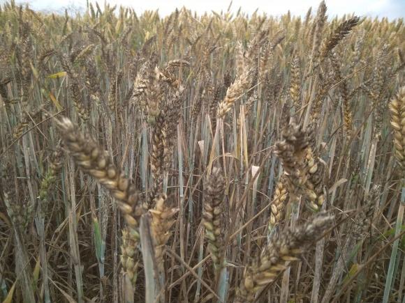 Захист пшениці м'якої озимої від хвороб фото, ілюстрація