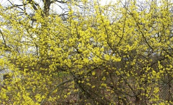 Кизил - нова культура в садівництві фото, ілюстрація