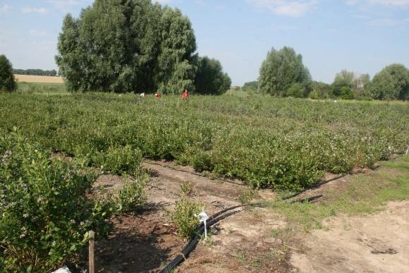 Як отримати хороший урожай лохини — поради «Долина Агро» фото, ілюстрація