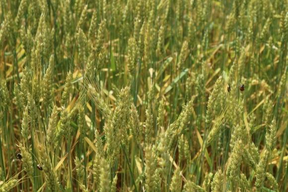 Вредители и болезни озимых зерновых: текущая ситуация фото, иллюстрация