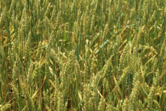 Шкідники і хвороби озимих зернових: поточна ситуація фото, ілюстрація