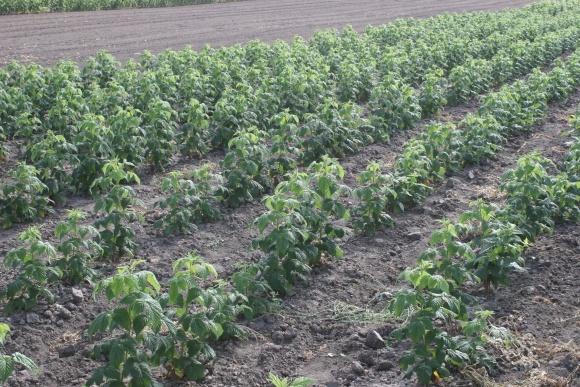 Агролайфхак: закладка плантации органической малины фото, иллюстрация