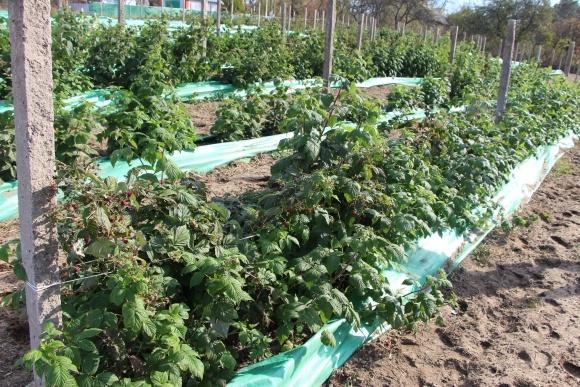Из-за отсутствия переработки на каждом килограмме малины украинский фермер теряет 20 центов фото, иллюстрация