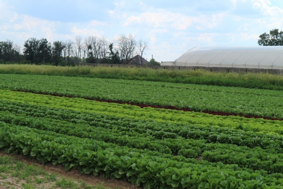Еко-землеробство поневолі: вирощування салату фото, ілюстрація