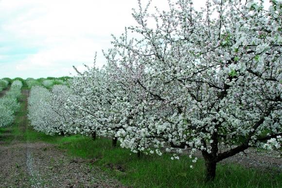 Регулятори росту для промислових яблуневих садів фото, ілюстрація