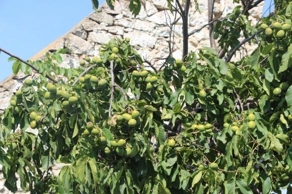 Принципы посадки орехового сада фото, иллюстрация