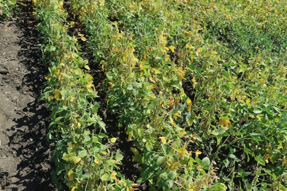 Особенности севооборотов, подготовки почвы, нормы удобрений для выращивания сои в условиях орошения на Юге Украины фото, иллюстрация