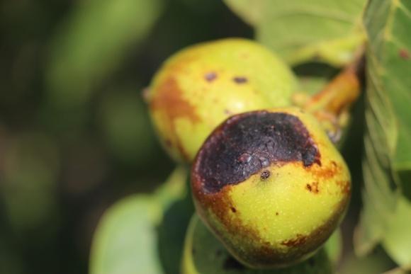 Защита ореха от вредителей и болезней фото, иллюстрация