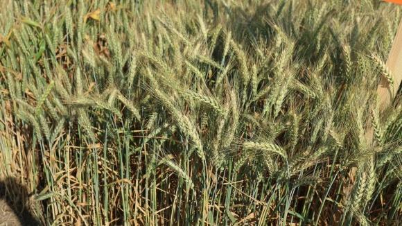 Протруювання насіння озимої пшениці перед посівом фото, ілюстрація