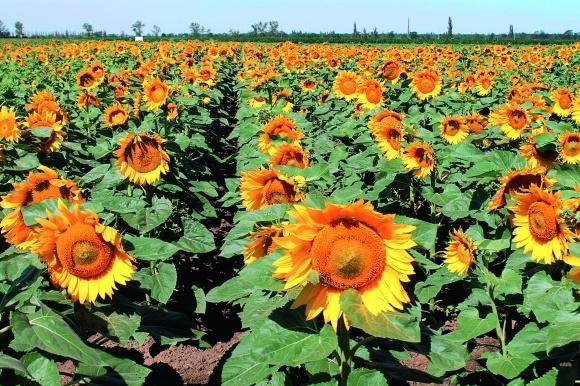 Технология выращивания подсолнечника при минимальной основной обработке на Юге Украины фото, иллюстрация