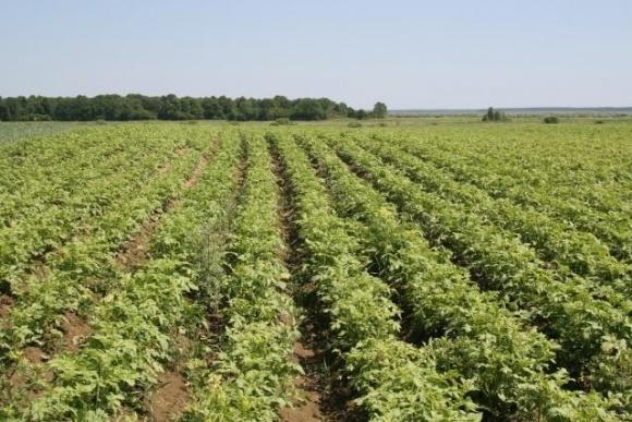 Інтенсивна технологія вирощування картоплі фото, ілюстрація